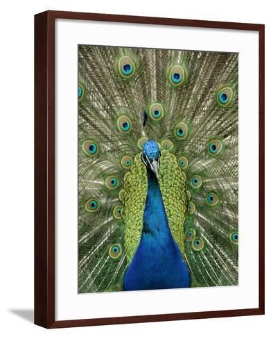 Peacock on Castle Grounds, Cardiff Castle, Wales-Cindy Miller Hopkins-Framed Art Print