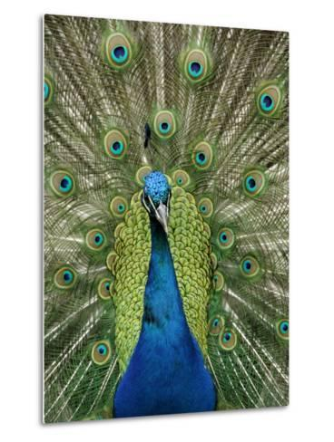 Peacock on Castle Grounds, Cardiff Castle, Wales-Cindy Miller Hopkins-Metal Print