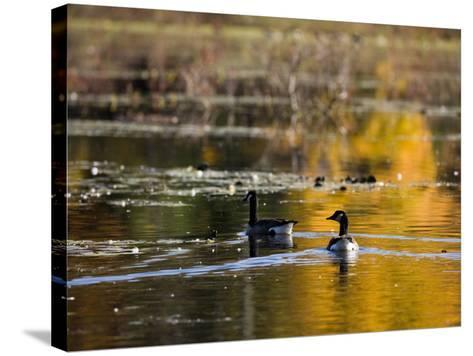 Canada Geese, Ewell Reservation, Rowley, Massachusetts USA-Jerry & Marcy Monkman-Stretched Canvas Print