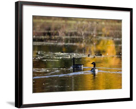 Canada Geese, Ewell Reservation, Rowley, Massachusetts USA-Jerry & Marcy Monkman-Framed Art Print