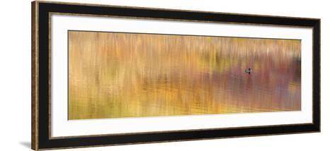 Duck Sitting on Water, Denali National Park, Alaska, USA-Arthur Morris-Framed Art Print