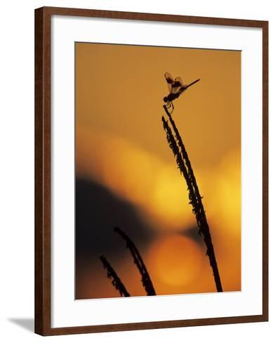 Four-Spotted Pennant, Welder Wildlife Refuge, Sinton, Texas, USA-Rolf Nussbaumer-Framed Art Print