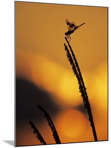 Four-Spotted Pennant, Welder Wildlife Refuge, Sinton, Texas, USA-Rolf Nussbaumer-Mounted Photographic Print