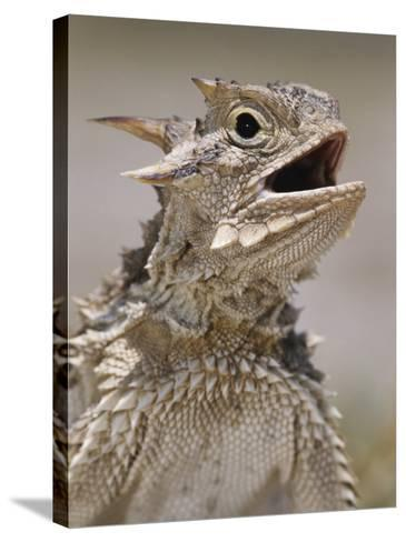 Texas Horned Lizard, Rio Grande Valley, Texas, USA-Rolf Nussbaumer-Stretched Canvas Print