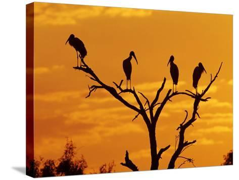 Wood Stork, Lake Corpus Christi, Texas, USA-Rolf Nussbaumer-Stretched Canvas Print