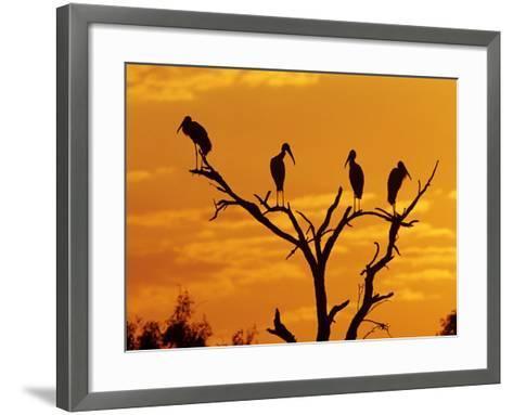 Wood Stork, Lake Corpus Christi, Texas, USA-Rolf Nussbaumer-Framed Art Print