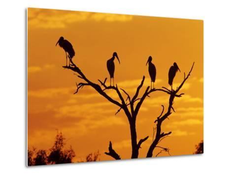 Wood Stork, Lake Corpus Christi, Texas, USA-Rolf Nussbaumer-Metal Print