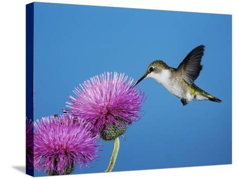 Ruby-Throated Hummingbird, Welder Wildlife Refuge, Sinton, Texas, USA-Rolf Nussbaumer-Stretched Canvas Print
