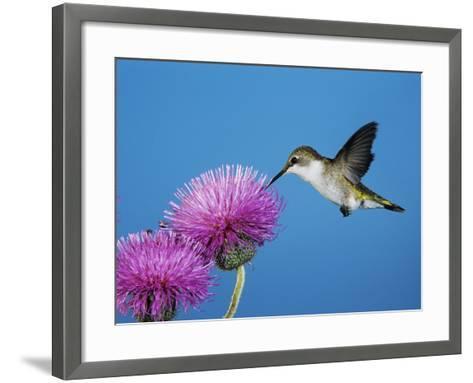 Ruby-Throated Hummingbird, Welder Wildlife Refuge, Sinton, Texas, USA-Rolf Nussbaumer-Framed Art Print