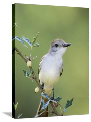 Ash-Throated Flycatcher, Uvalde County, Hill Country, Texas, USA-Rolf Nussbaumer-Stretched Canvas Print