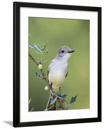 Ash-Throated Flycatcher, Uvalde County, Hill Country, Texas, USA-Rolf Nussbaumer-Framed Art Print