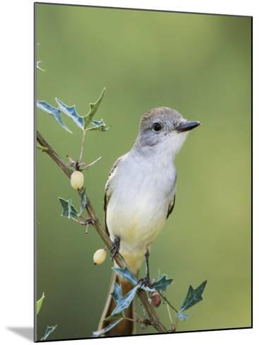 Ash-Throated Flycatcher, Uvalde County, Hill Country, Texas, USA-Rolf Nussbaumer-Mounted Photographic Print