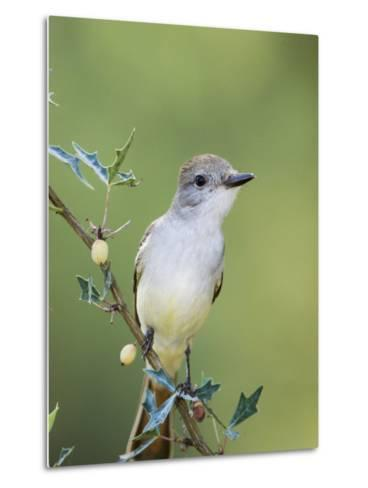 Ash-Throated Flycatcher, Uvalde County, Hill Country, Texas, USA-Rolf Nussbaumer-Metal Print