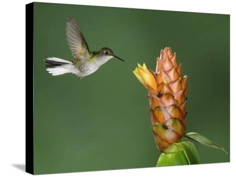 Black-Bellied Hummingbird, Central Valley, Costa Rica-Rolf Nussbaumer-Stretched Canvas Print