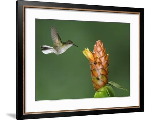 Black-Bellied Hummingbird, Central Valley, Costa Rica-Rolf Nussbaumer-Framed Art Print