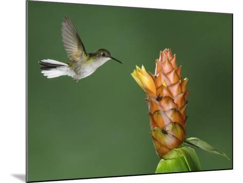 Black-Bellied Hummingbird, Central Valley, Costa Rica-Rolf Nussbaumer-Mounted Photographic Print
