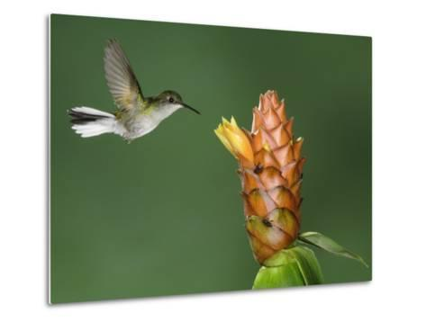 Black-Bellied Hummingbird, Central Valley, Costa Rica-Rolf Nussbaumer-Metal Print
