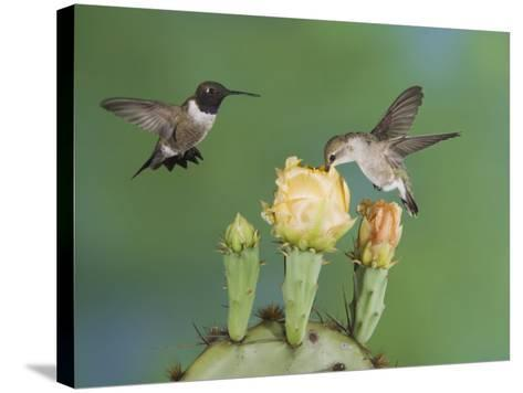 Black-Chinned Hummingbird, Uvalde County, Hill Country, Texas, USA-Rolf Nussbaumer-Stretched Canvas Print