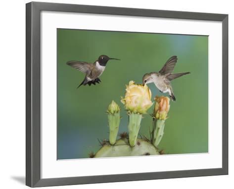 Black-Chinned Hummingbird, Uvalde County, Hill Country, Texas, USA-Rolf Nussbaumer-Framed Art Print