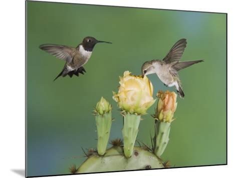 Black-Chinned Hummingbird, Uvalde County, Hill Country, Texas, USA-Rolf Nussbaumer-Mounted Photographic Print