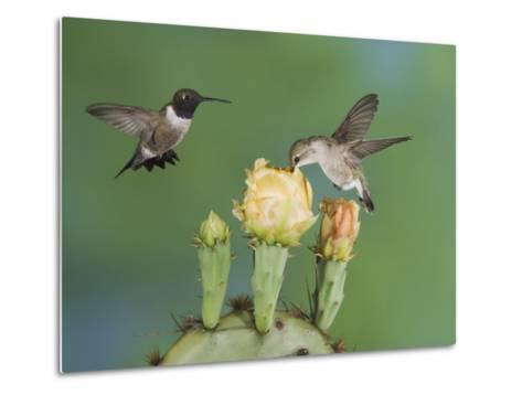 Black-Chinned Hummingbird, Uvalde County, Hill Country, Texas, USA-Rolf Nussbaumer-Metal Print