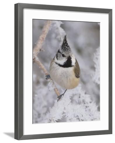 Crested Tit, Lenzerheide, Switzerland-Rolf Nussbaumer-Framed Art Print