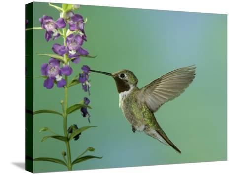 Hummingbird Feeding on Purple Angelonia, Paradise, Chiricahua Mountains, Arizona, USA-Rolf Nussbaumer-Stretched Canvas Print