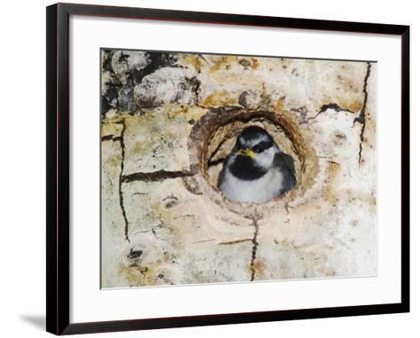 Mountain Chickadee in Aspen Tree, Rocky Mountain National Park, Colorado, USA-Rolf Nussbaumer-Framed Art Print