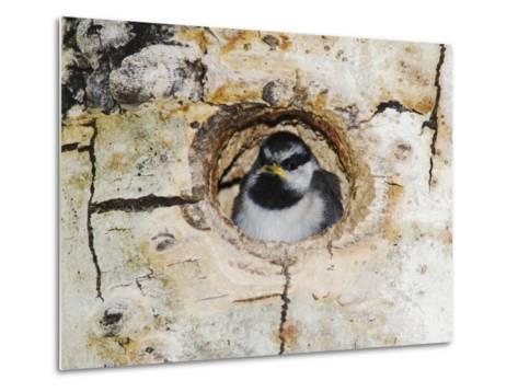 Mountain Chickadee in Aspen Tree, Rocky Mountain National Park, Colorado, USA-Rolf Nussbaumer-Metal Print