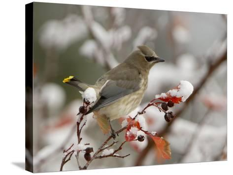 Adult Cedar Waxwing, Grand Teton National Park, Wyoming, USA-Rolf Nussbaumer-Stretched Canvas Print