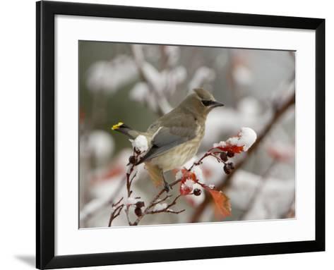Adult Cedar Waxwing, Grand Teton National Park, Wyoming, USA-Rolf Nussbaumer-Framed Art Print