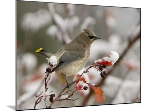 Adult Cedar Waxwing, Grand Teton National Park, Wyoming, USA-Rolf Nussbaumer-Mounted Photographic Print