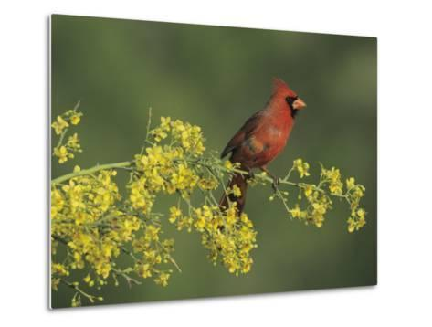 Northern Cardinal on Blooming Paloverde, Rio Grande Valley, Texas, USA-Rolf Nussbaumer-Metal Print