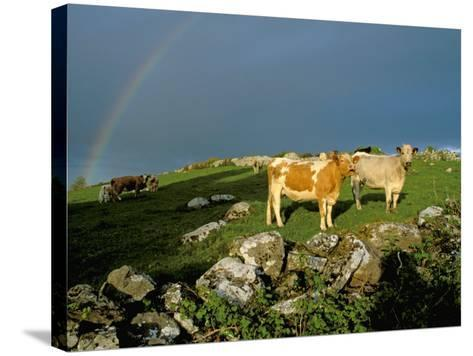 Cows and Rock Wall, Ireland-Marilyn Parver-Stretched Canvas Print