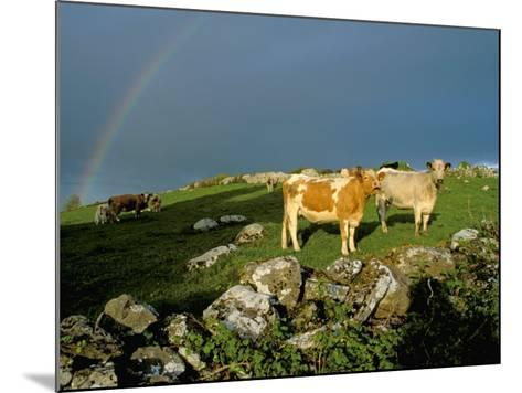 Cows and Rock Wall, Ireland-Marilyn Parver-Mounted Photographic Print