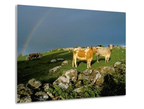 Cows and Rock Wall, Ireland-Marilyn Parver-Metal Print