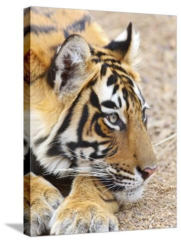 Portrait of Royal Bengal Tiger, Ranthambhor National Park, India-Jagdeep Rajput-Stretched Canvas Print