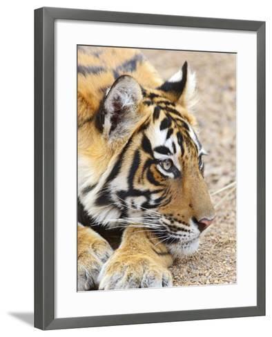 Portrait of Royal Bengal Tiger, Ranthambhor National Park, India-Jagdeep Rajput-Framed Art Print