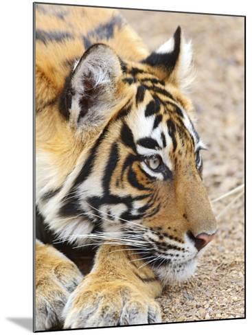 Portrait of Royal Bengal Tiger, Ranthambhor National Park, India-Jagdeep Rajput-Mounted Photographic Print