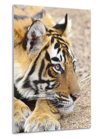 Portrait of Royal Bengal Tiger, Ranthambhor National Park, India-Jagdeep Rajput-Metal Print