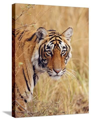 Royal Bengal Tiger Watching, Ranthambhor National Park, India-Jagdeep Rajput-Stretched Canvas Print