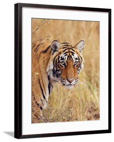 Royal Bengal Tiger Watching, Ranthambhor National Park, India-Jagdeep Rajput-Framed Art Print