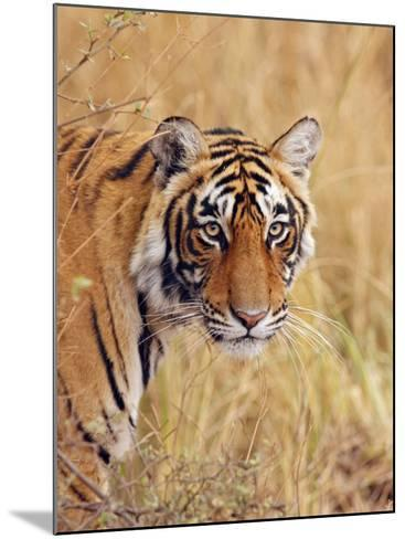 Royal Bengal Tiger Watching, Ranthambhor National Park, India-Jagdeep Rajput-Mounted Photographic Print