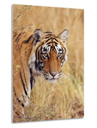 Royal Bengal Tiger Watching, Ranthambhor National Park, India-Jagdeep Rajput-Metal Print