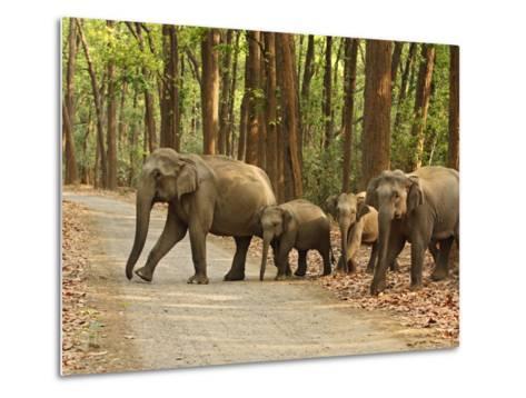 Royal Bengal Tiger Watching, Ranthambhor National Park, India-Jagdeep Rajput-Metal Print