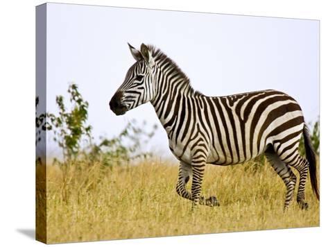 Zebras Herding in The Fields, Maasai Mara, Kenya-Joe Restuccia III-Stretched Canvas Print
