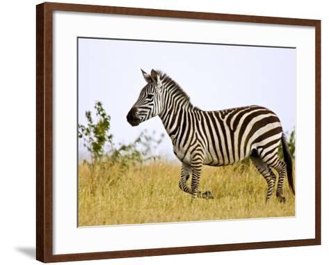 Zebras Herding in The Fields, Maasai Mara, Kenya-Joe Restuccia III-Framed Art Print
