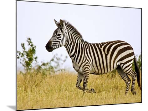 Zebras Herding in The Fields, Maasai Mara, Kenya-Joe Restuccia III-Mounted Photographic Print