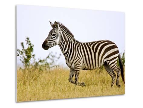 Zebras Herding in The Fields, Maasai Mara, Kenya-Joe Restuccia III-Metal Print
