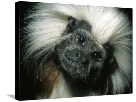 Cotton-Top Tamarin, Colombia-Kevin Schafer-Stretched Canvas Print